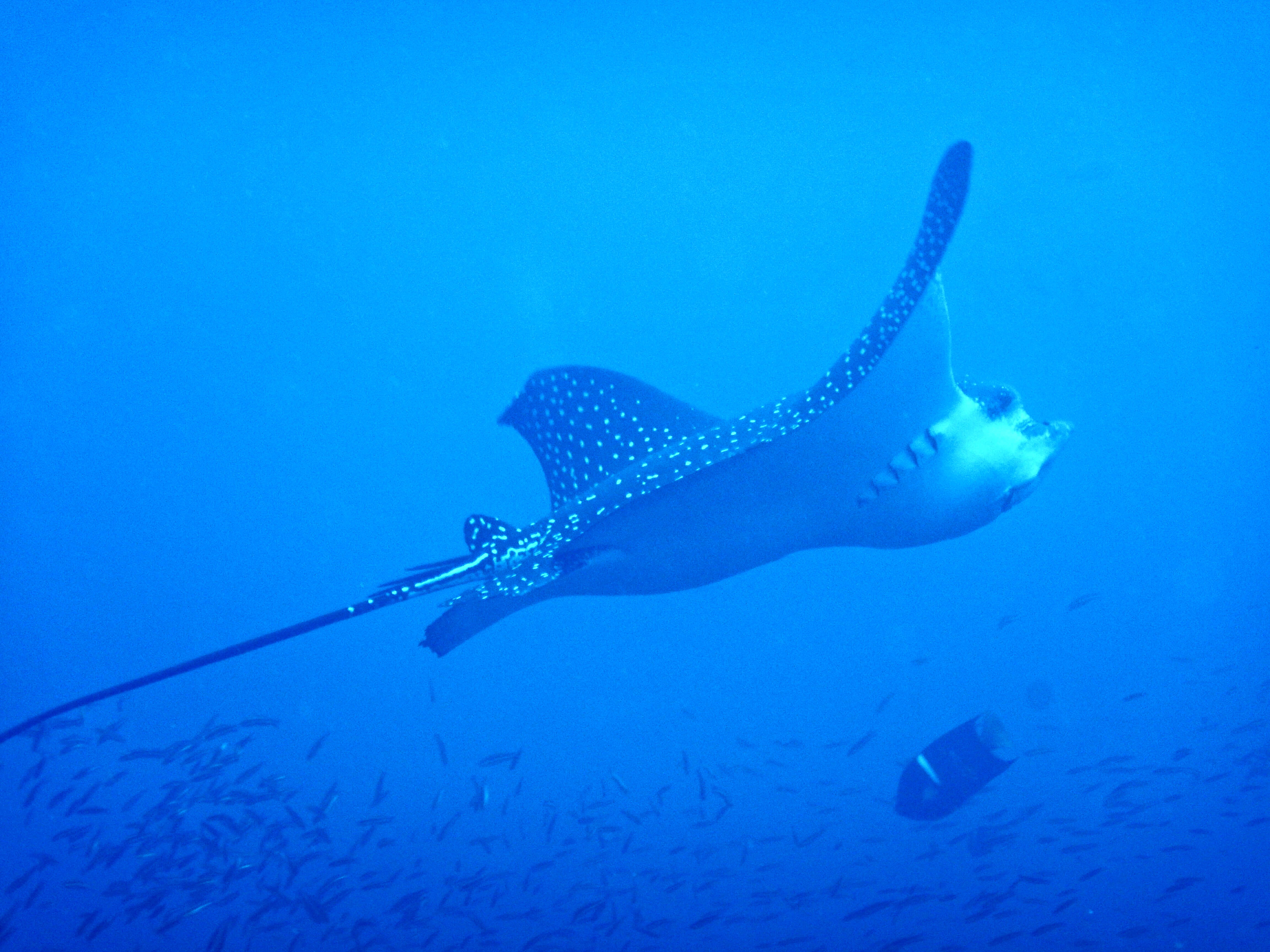 Eagle ray galapagos crucero buceo