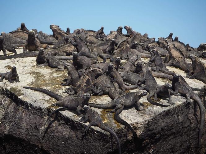 iguanas marinas galápagos por tu cuenta