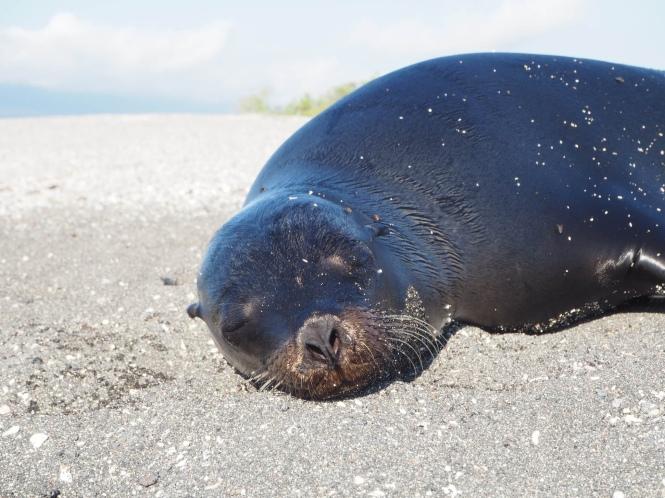 León marino islas galápagos por tu cuenta