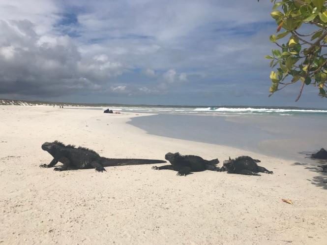 Iguanas en Playa Tortuga Galápagos por tu cuenta