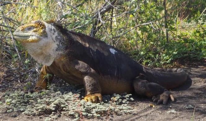 Iguana terrestre Galápagos por tu cuenta