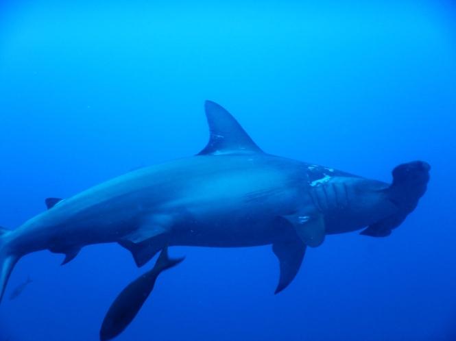 Tiburon martillo Galápagos por tu cuenta