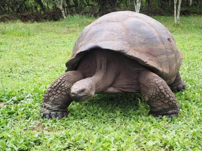 tortuga galápagos islas galápagos