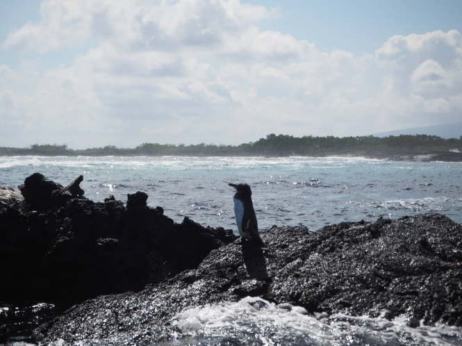 pingüino islas galápagos